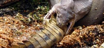 蟒蛇吞食鱷魚
