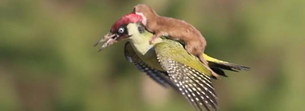 這張啄木鳥揹著小鼬鼠迪士尼般的照片 背後的真相就是活生生食物鏈
