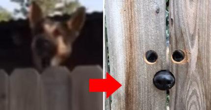 影/狼犬想交朋友 她貼心鑽2+1小洞秒變「恐怖片主角」笑翻網友