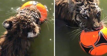 老虎怕熱跳水池叼皮球「耍酷賣萌」:老子當草原之王也hen累啊~