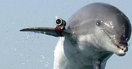 比人還忠誠!俄羅斯抓到間諜海豚 逼受訓效命「最後牠們絕食而死」