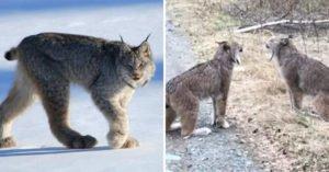 比女人吵架還猛!高冷大山貓「路邊狂吼爭執」 路人嚇壞:還是繞路吧
