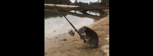 無尾熊河邊「佛系垂釣」 怎麼看都是一個厭世大叔啊~