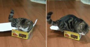 紙箱要爆啦!日本肥喵皇「小紙盒控」 肉從旁邊溢出來惹