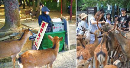 為什麼奈良鹿都不會「搶小販」?專家解開陰謀論:因為他們智商跟狗狗差不多