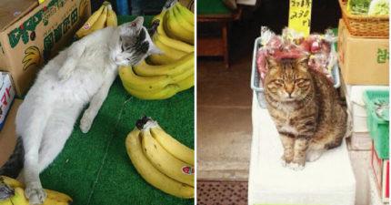 整個香蕉攤就是08的床 店貓大牌躺香蕉上客人被萌翻:這隻一斤多少?