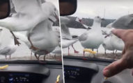 影/無聊男在車內丟薯條 讓傻海鷗「啄玻璃搶食」再用雨刷驅趕