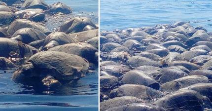 影/人類造的孽還不夠? 「300隻瀕危海龜」受困非法漁網溺斃