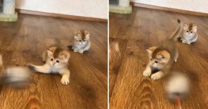 玩具你別跑~小幼貓伸肉球化身「絨毛爬蟲類」 手速神快:我就是手起刀落手起刀落!