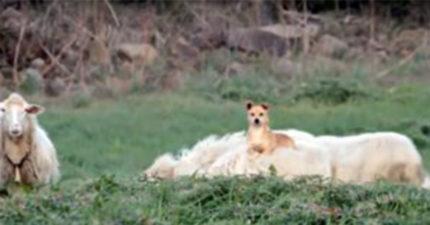 影/懂偷懶!牧羊狗「趁主人不在摸魚」 爽爽坐羊背兜風:應該沒人發現吧?