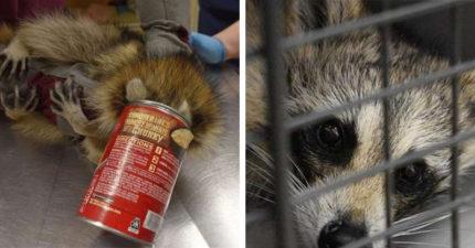 罐罐裡有濃湯!浣熊激動塞頭猛舔下秒GG卡頭…開罐後直接笑到噴飯