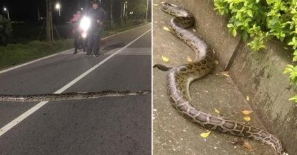 金門路上見「2公尺蛇精妹」半夜散步 整條直接橫披雙黃線上...路人打燈嚇傻!