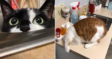 平常不就很派嗎~貓咪得知「要看醫生囉」的真實反應 把頭給我從馬桶拔出來!