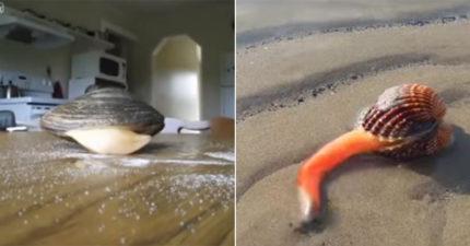 被抓上岸好餓!蛤蠣舔鹽超驚奇 「超肥嫩白舌頭」伸出人類世界...網笑:越看越覺得母湯XD