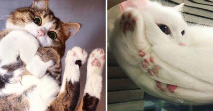 20張「原來貓咪趴著的時候長這樣」的仰角照 平常不給碰的「草莓大福」全露餡!