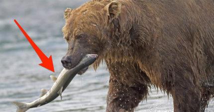 想報復前任?動物園推情人節「把男友餵熊吃」活動 只要一條鮭魚就能洩憤!