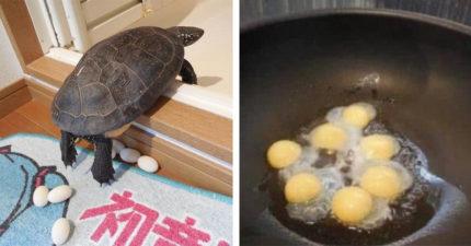 他太好奇「烏龜蛋的味道」決定偷走寵物的心血 用平底鍋煎10分鐘後…飼主崩潰了