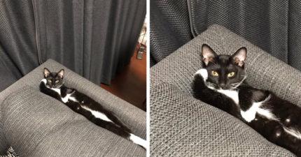 黑白貓超性感「手撐頭躺沙發」 鏟屎人無奈po網卻引來更多「一條貓」現身!