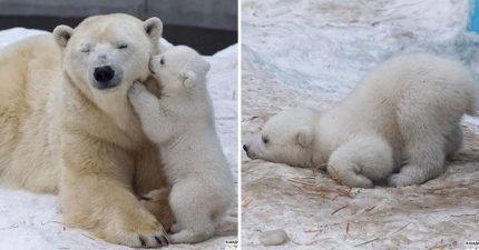 北極熊媽媽罕見誕雙寶!隱藏攝影機拍到「熊寶初次玩雪」的模樣粉絲全融化了❤️️