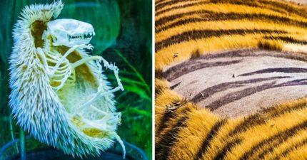 23個比生物課有趣100倍的秘密 老虎「把毛剃光」有天然刺青!