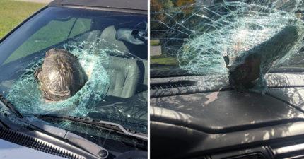 衰男上班「烏龜從天空飛來」撞爆擋風玻璃 老闆看完「現場悲劇照」無條件准假