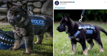 紐西蘭警察「年花500萬曬狗」 社群「92%都是超萌警犬」民眾不忍罵:好可愛❤