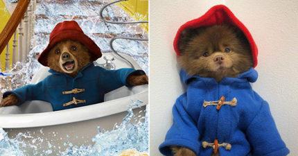 博美意外撞臉「柏靈頓熊」 網搜出牠的「超萌濕身照」暴動:炸毛太犯規!