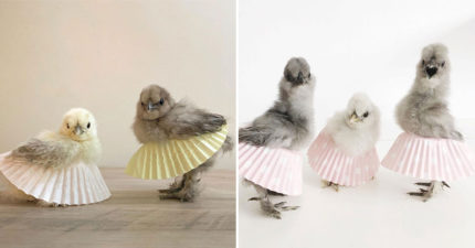 24張「夢想是當芭蕾舞者」的萌雞穿裙照 母雞穿上「七彩舞裙」超有氣勢!