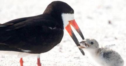 吃了就沒命!海灘「餵食幼鳥畫面」被瘋傳 嘴上叼著的「食物」讓網爆淚:人類太可惡