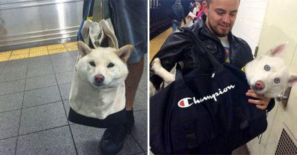 地鐵規定「裝得進袋子」就能帶寵物 主人狂塞「IKEA環保袋」網看傻:委屈你了