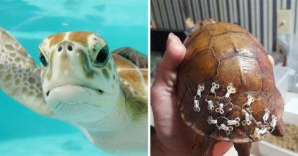 内衣穿舊了別丟!動保組織發現「這個小設計」可以修復龜殼 「超簡單步驟」讓海龜重獲新生