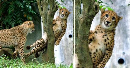 動物園驚見「豹被卡在樹上」爆笑畫面!下秒「OMG表情」網全笑翻:人家會壞掉~