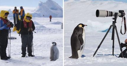 攝影師拍企鵝「牠們零戒心給拍」還自己走到相機前 超可愛畫面網友卻警告:會出事!
