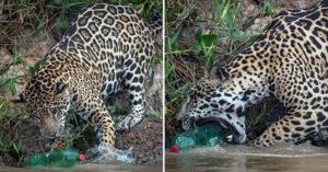 攝影師目睹「美洲豹啃咬寶特瓶」的驚人畫面 曝光「超心碎原因」人類要負很大責任!