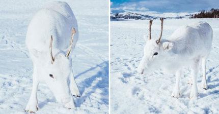 攝影師極地拍下罕見「冰雪白馴鹿」仙氣爆表 牠乖巧「望向鏡頭」根本艾莎❤