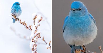 地表最美精靈!夢幻小鳥「漸層冰雪藍」飄仙氣:鳥界艾莎女王❤