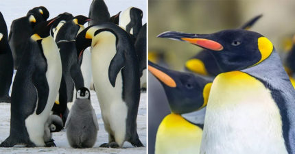 企鵝「便便有笑氣成分」研究員不小心「吸到嗨」!