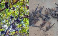 印度「500隻蝙蝠」集體暴斃 專家找出「致命原因」人類也恐遭殃