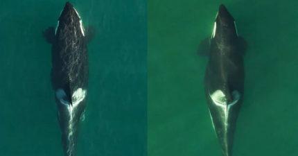 最有母愛虎鯨「痛失2孩」陪屍伴游17天 今小天使再度報到!