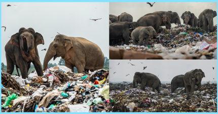 象群一家大小「垃圾場覓食」 專家揭「心疼真相」:牠們在尋死