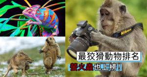 動物也耍心機!盤點「最狡猾動物TOP 9」第1名比人類還奸詐