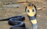 家陽台出現眼鏡蛇!基隆男急潑熱水「亂竿猛打」 遭判緩刑2年