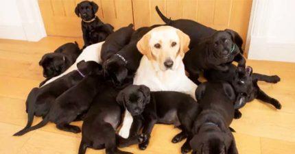 爸爸基因太強!連生13隻都是小黑炭 狗媽「眼神空掉」:沒一個像我